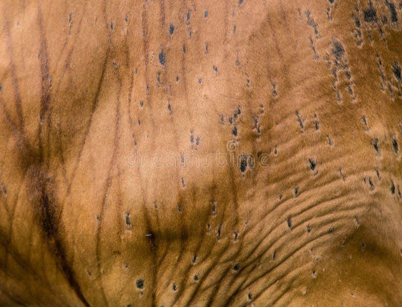 Struttura di cow& x27; pelle di s immagini stock libere da diritti