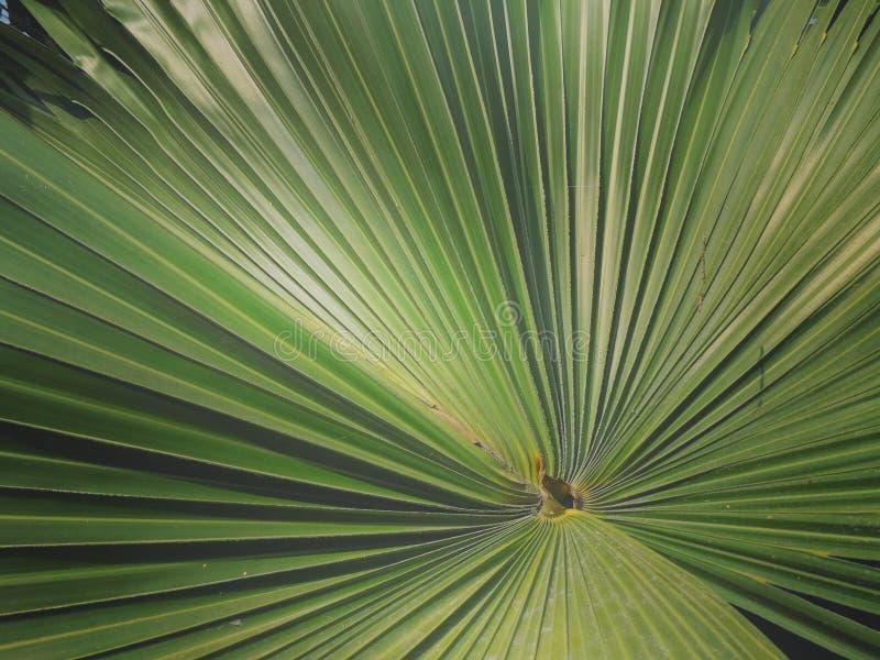 Struttura di foglia di palma verde come fondo fotografie stock