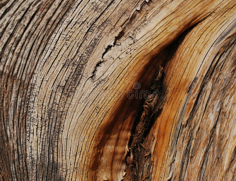 Struttura di legno del ginepro fotografia stock