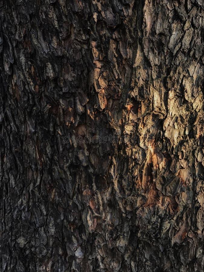 Struttura di legno della corteccia di albero immagine stock