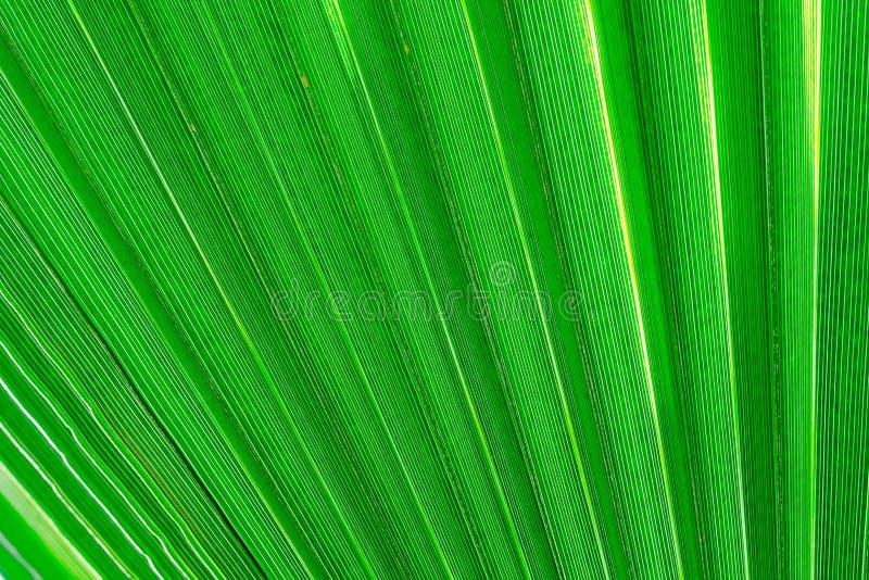 Struttura di un colore verde del primo piano di foglia di palma fotografia stock libera da diritti