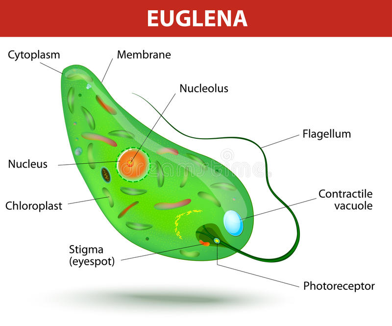 Struttura di un'euglena royalty illustrazione gratis