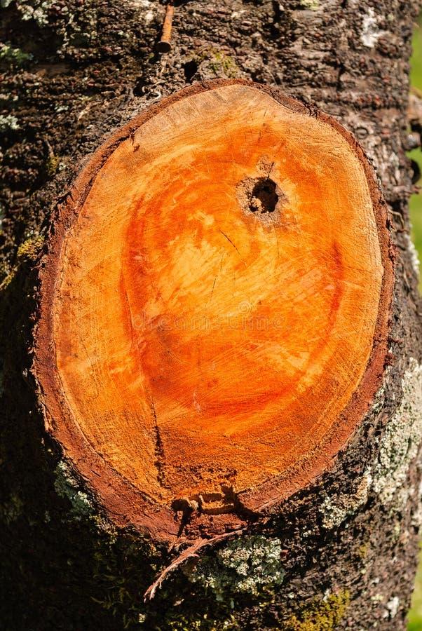 Struttura di un ramo tagliato su un tronco di albero nell'ambito di luce naturale fotografia stock libera da diritti