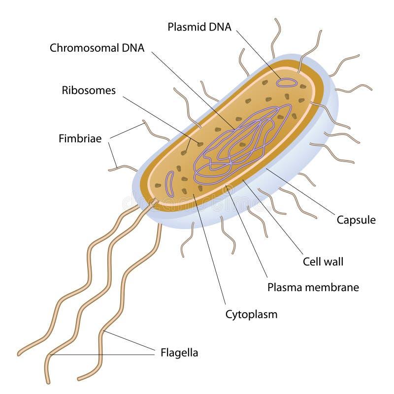 Struttura di una cella batterica illustrazione vettoriale