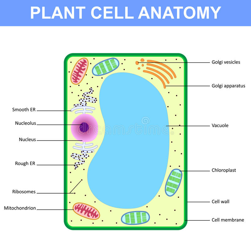 Struttura di una cellula vegetale illustrazione di stock