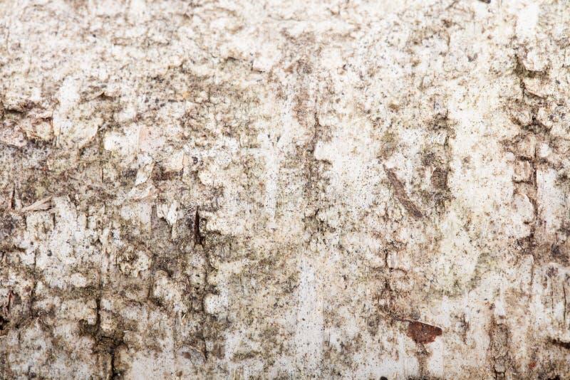 Struttura di una corteccia di betulla, confusa intorno ai bordi fotografia stock