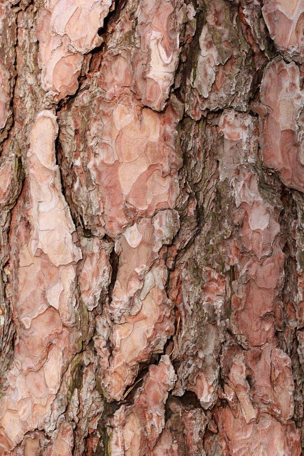 Struttura di una corteccia di pino marrone immagini stock libere da diritti