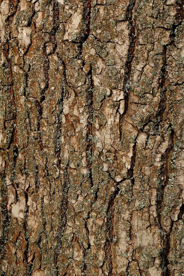 Struttura di una corteccia di vecchia quercia. Modello del fondo fotografie stock