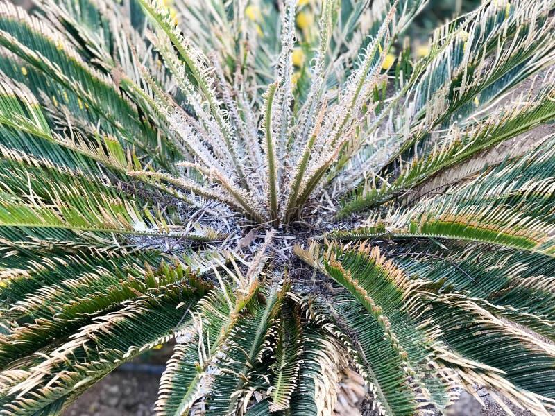 Struttura di una felce fertile pelosa coperta di spine luminosa sbocciante esotica tropicale verde, piante, natura, bellezza natu fotografia stock