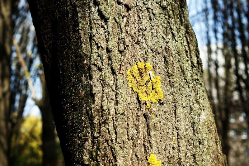 Struttura di uso del legno della corteccia come sfondo naturale immagine stock libera da diritti