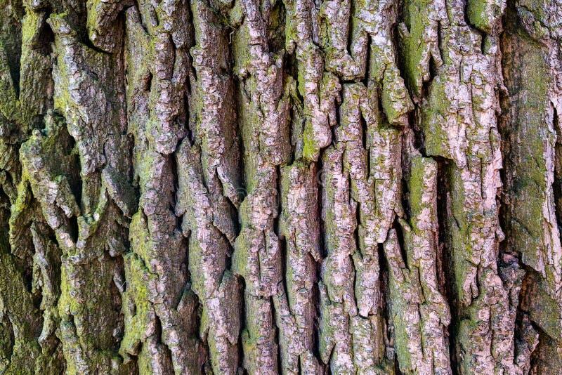 Struttura di uso di legno della corteccia come sfondo naturale, naturale immagine stock
