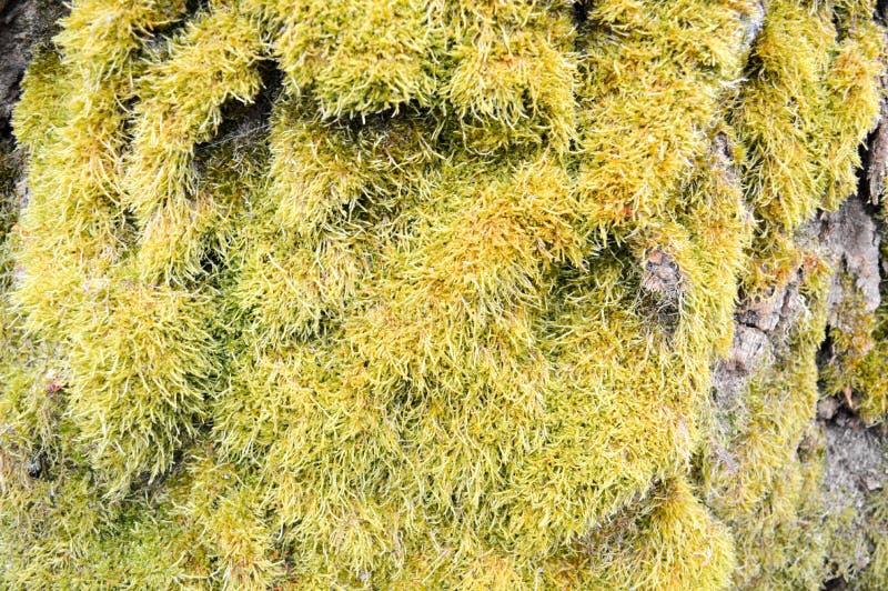 Struttura di vecchio albero grigio voluminoso dilapidato, corteccia coperta di muschio lanuginoso verde fotografia stock