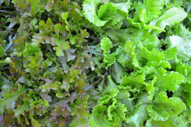 Struttura di verdure verde del fondo dell'insalata della lattuga della quercia di rea e della quercia fotografia stock libera da diritti