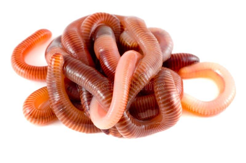 Struttura. Earthworms immagini stock