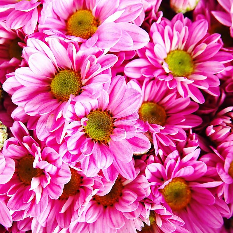 Struttura floreale del primo piano dei fiori del fondo di bello del crisantemo di amore giorno delle nozze rosa di giorno fotografie stock libere da diritti