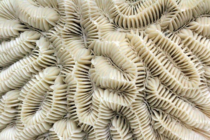 Struttura fossile di corallo fotografia stock libera da diritti