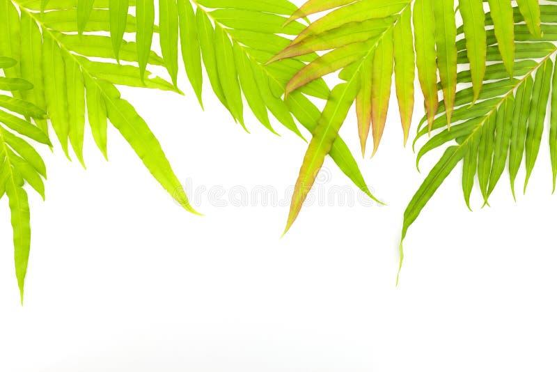 Struttura fresca delle foglie su fondo bianco fotografia stock libera da diritti