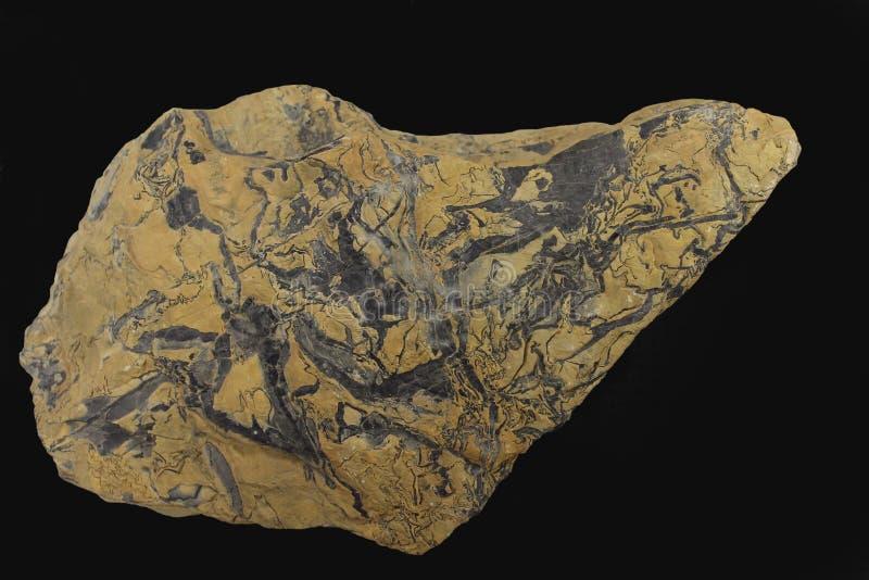 Struttura molare del dente dell'elefante proterozoico del pseudo-fossile fotografia stock
