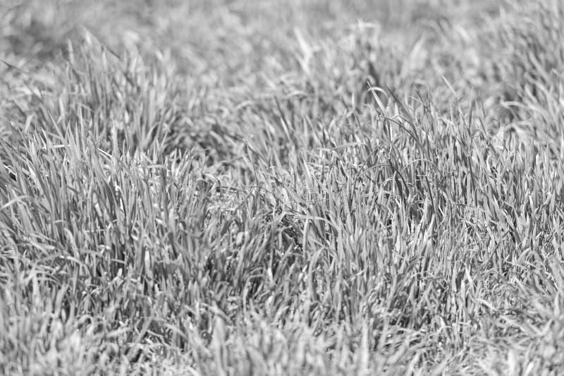 Struttura o fondo dell'erba Struttura dell'erba verde dal campo Prato con le piante verdi o le erbe fresche Concetto di struttura fotografia stock libera da diritti