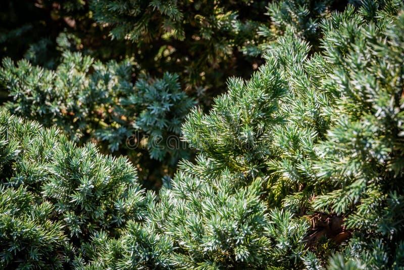 Struttura originale degli aghi di Meyeri della squamata del juniperus Blu con fondo verde degli aghi bassi Macro aghi nel sunligh immagine stock