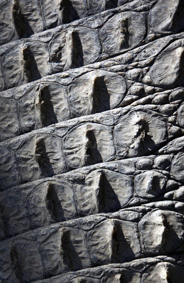 Struttura - pelle del coccodrillo fotografia stock libera da diritti