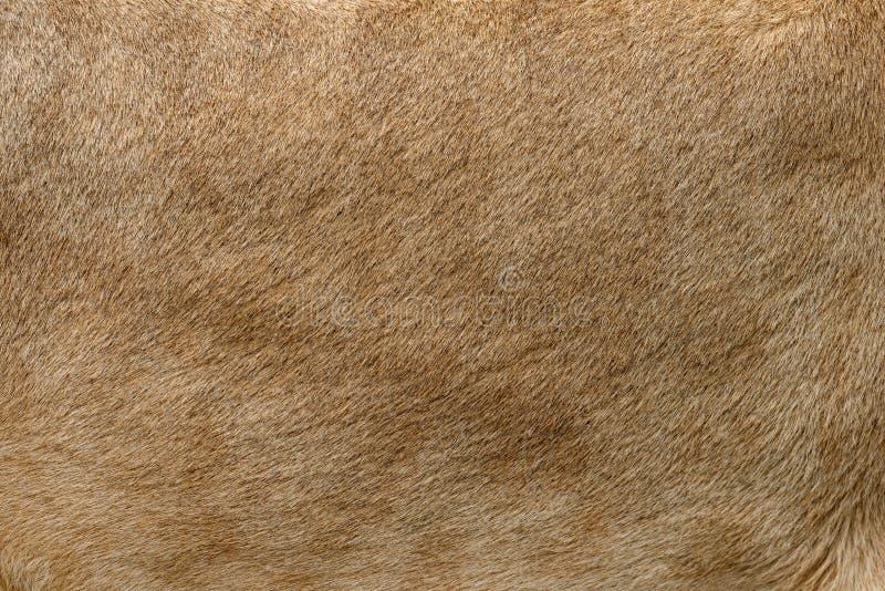 Struttura reale della pelliccia del leone del primo piano immagini stock