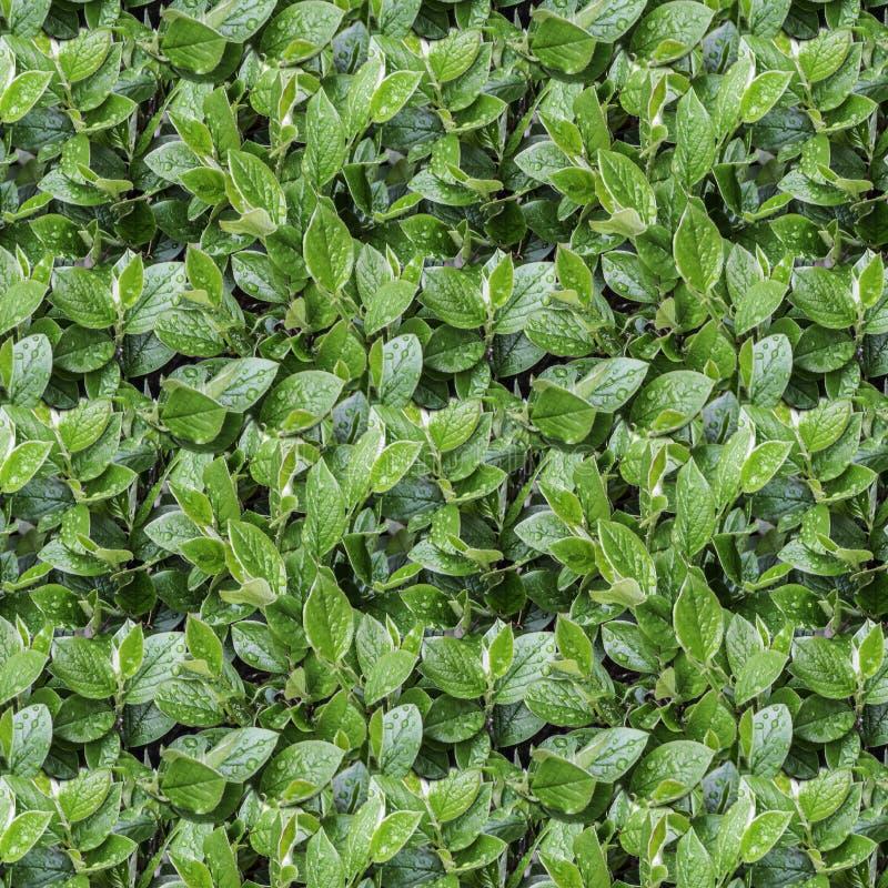 Struttura senza cuciture del modello del ramo bagnato del cespuglio del cotoneaster con le foglie verdi ed i germogli e gocce di  fotografie stock libere da diritti