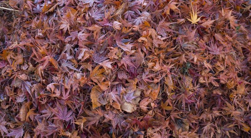 Struttura variopinta asciutta delle foglie di acero di autunno fotografia stock libera da diritti