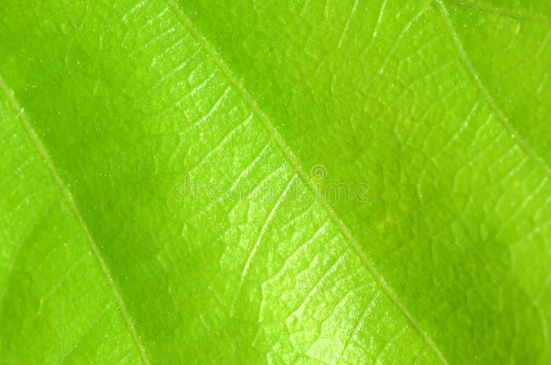 Struttura verde del foglio fotografia stock