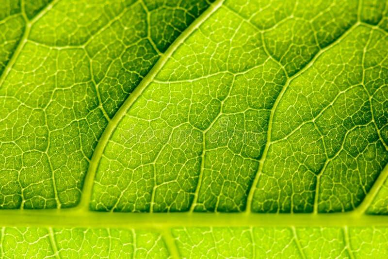 Struttura verde della foglia con gli stomi visibili che riguardano lo strato dell'epidermide fotografia stock libera da diritti