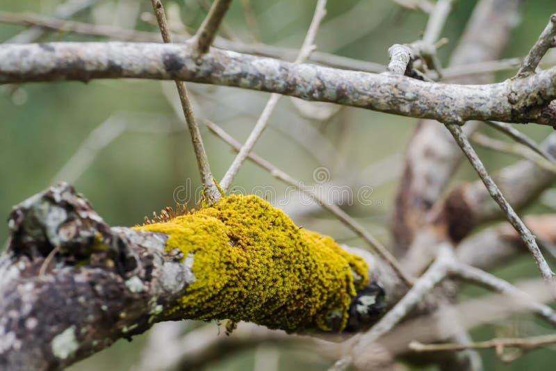 Strutturi i dettagli di muschio secco sui rami di albero nei precedenti fotografia stock