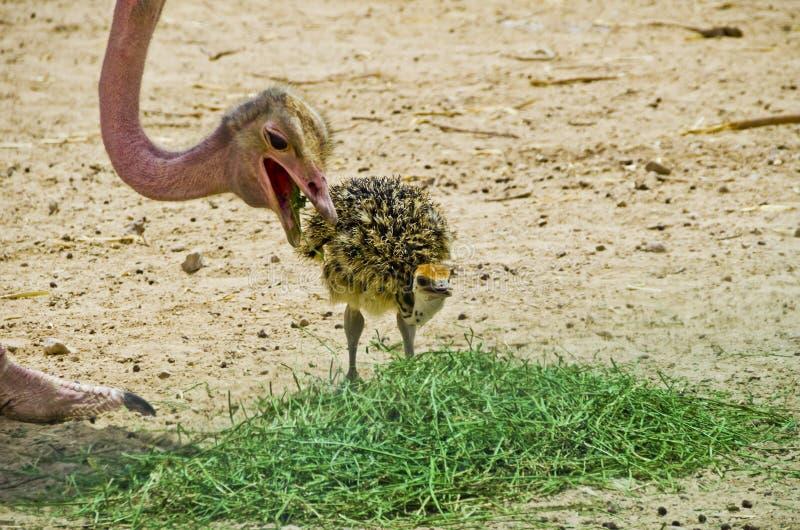 Struzzo adulto con il pulcino neonato immagine stock