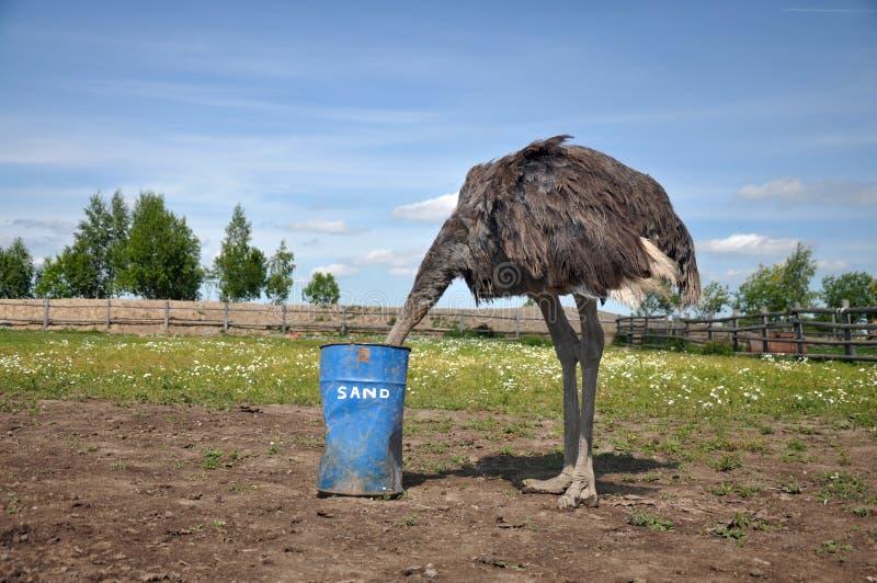 Struzzo africano che nasconde la sua testa nella sabbia immagini stock libere da diritti