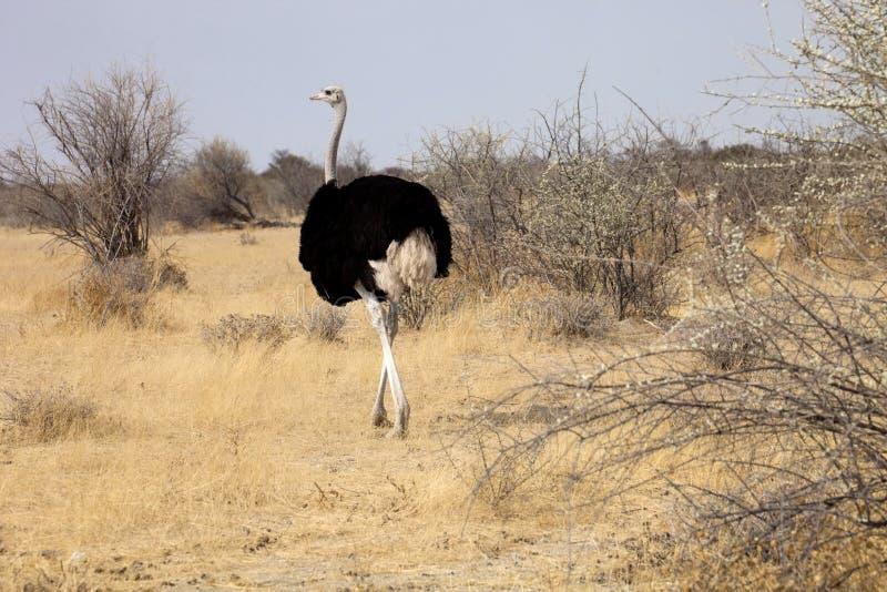 Struzzo africano con i pulcini, parco nazionale di Etosha, Namibia immagini stock