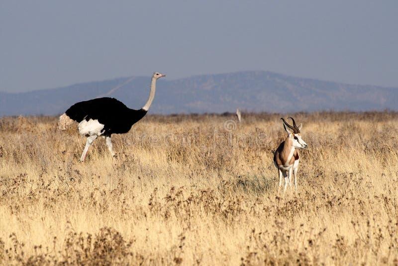 Struzzo africano, struthio camelus nel parco nazionale di Etosha, Namibia fotografie stock