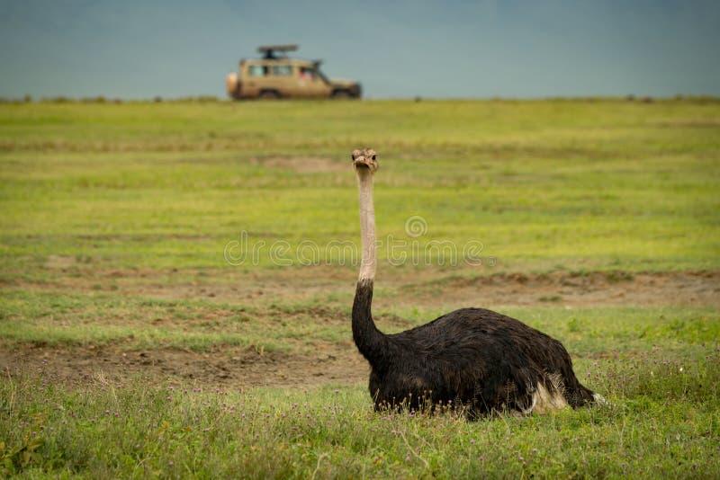 Download Struzzo Maschio Su Erba Con La Jeep Dietro Immagine Stock - Immagine di comune, africa: 117975275
