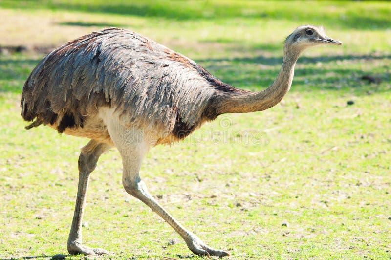 Struzzo in natura. Camelus dello Struthio immagine stock libera da diritti