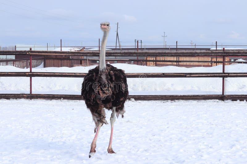 Struzzo in zoo Siberia immagine stock