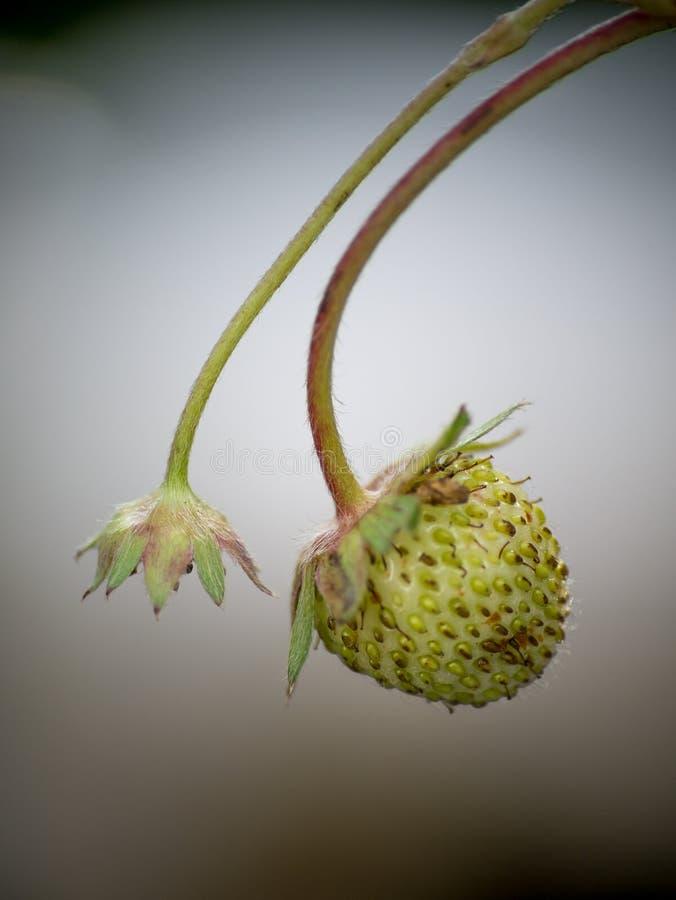 Stryberry-Blumen sind mit Tropfen auf dem Baum frisch lizenzfreies stockfoto