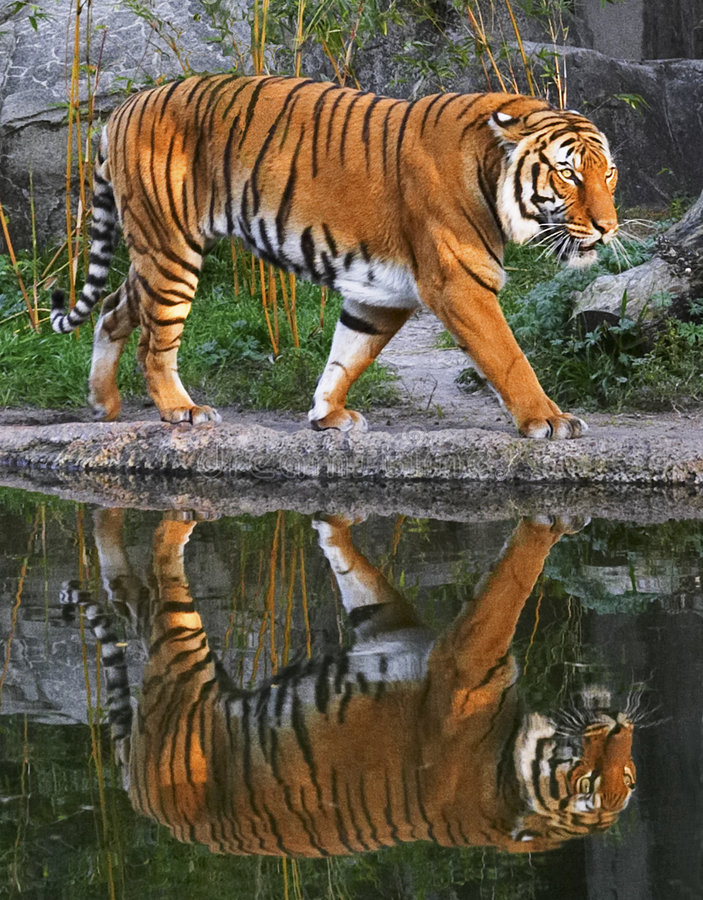 stryka omkring tiger royaltyfri foto