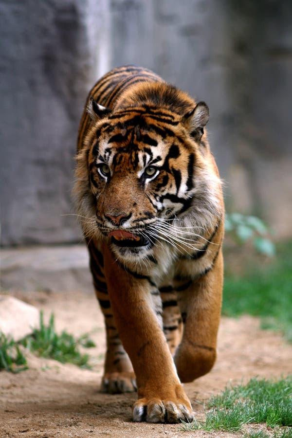 stryka omkring tiger arkivbilder