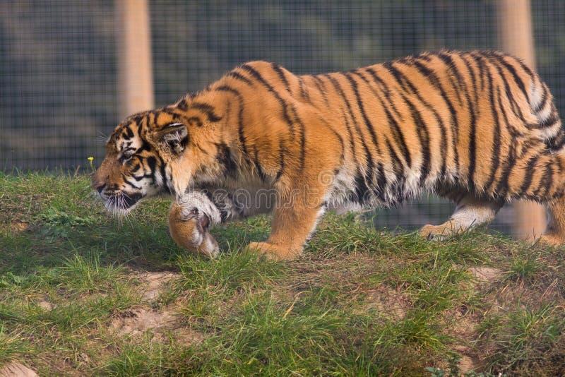 stryka omkring tiger för gröngöling arkivbilder