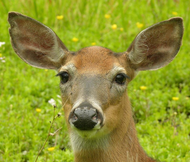 Download Strzał doe głowy obraz stock. Obraz złożonej z przyroda - 129317