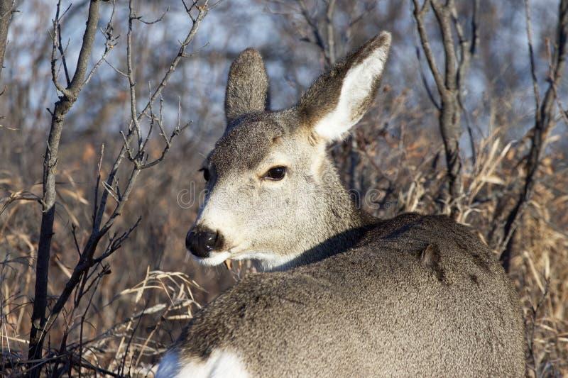 strzał z głowy jelenia obraz royalty free