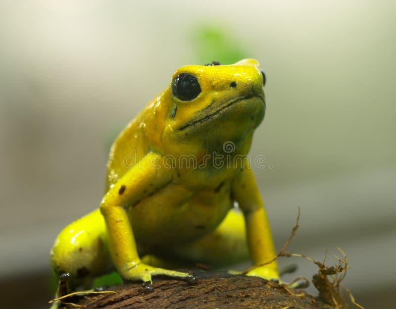 strzałki żaby jad fotografia royalty free