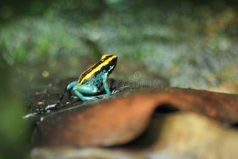 strzałki barwiarstwa żaba fotografia stock