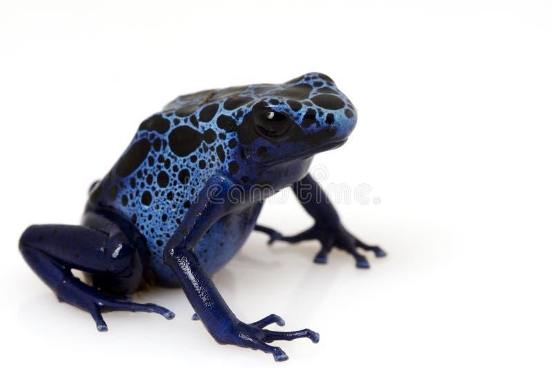 strzałkowatego azureus dendrobates żaby niebieski truciznę zdjęcie royalty free