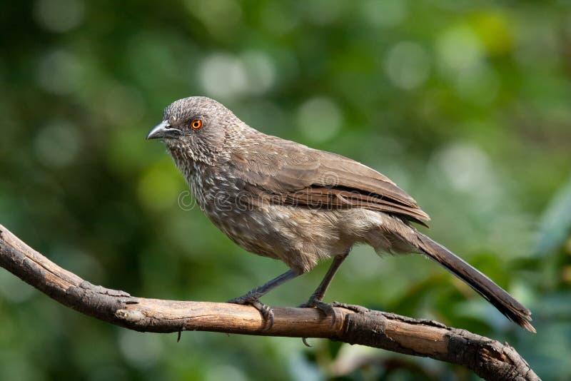 strzałkowatego papli ptasiego jardineii oceneni turdoides obraz stock