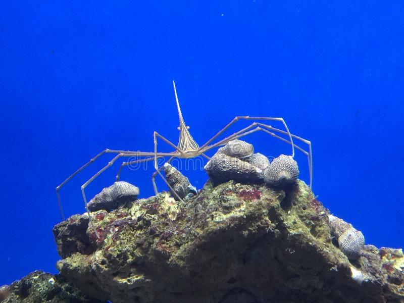 Strzałkowaty krab obraz stock
