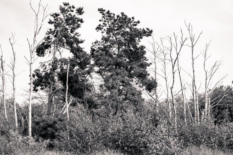 Strzelający nieżywe brzozy i sosny zdjęcie royalty free